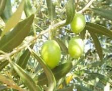 Addio agli ulivi in Puglia?