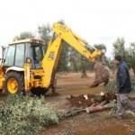 olivo malato 150x150 Addio agli ulivi in Puglia?