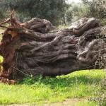 ulivo abbattuto 150x150 Addio agli ulivi in Puglia?